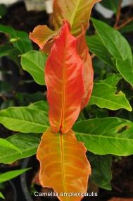 Camellia amplexicaulis blad