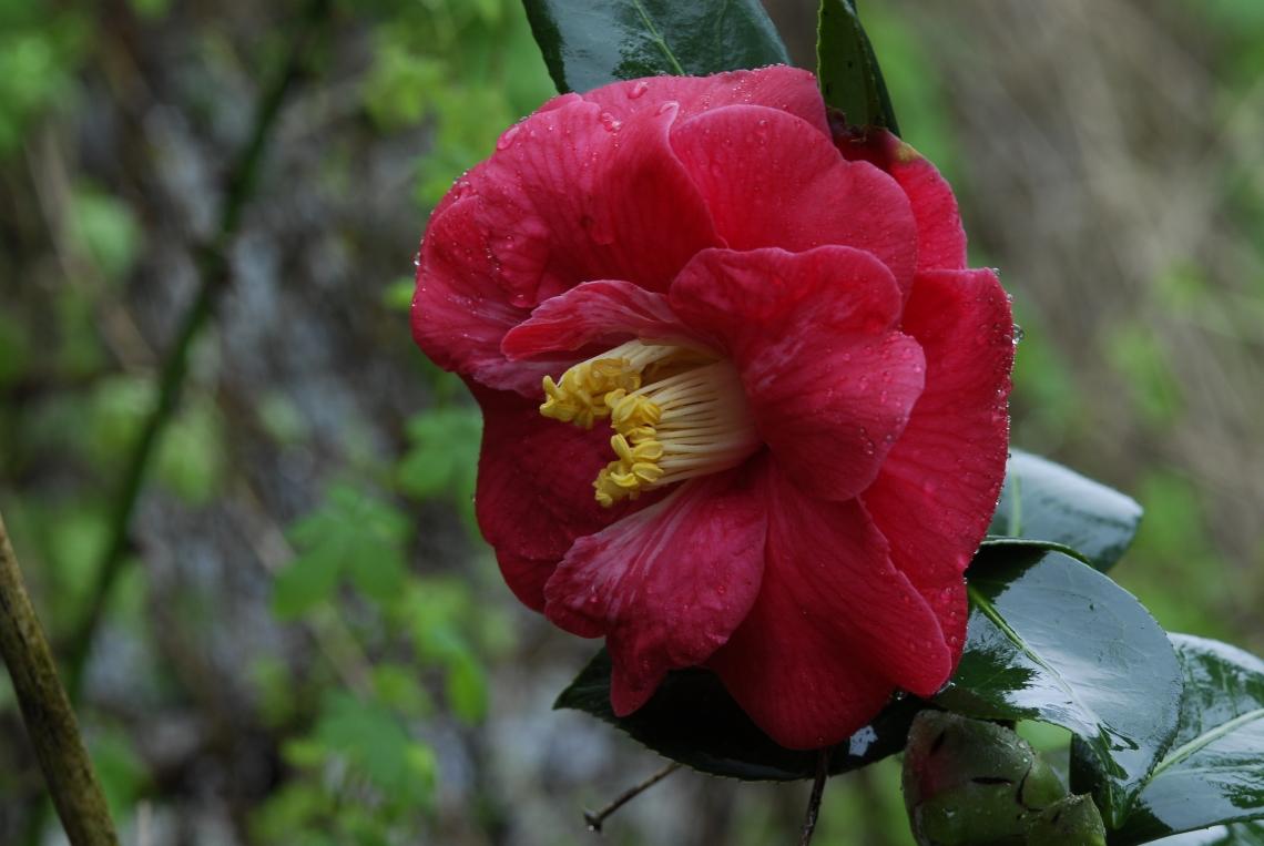 Camellia Kramers supreme