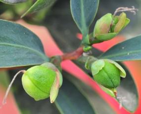 Camellia changii seeds