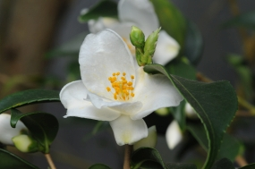 Camellia euryoides