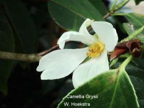 Camellia grysii