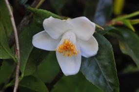 Camellia longicarpa