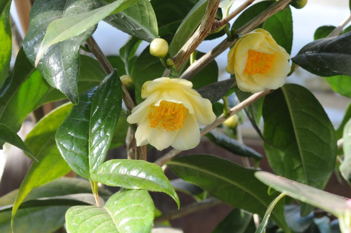 Camellia nittidisima