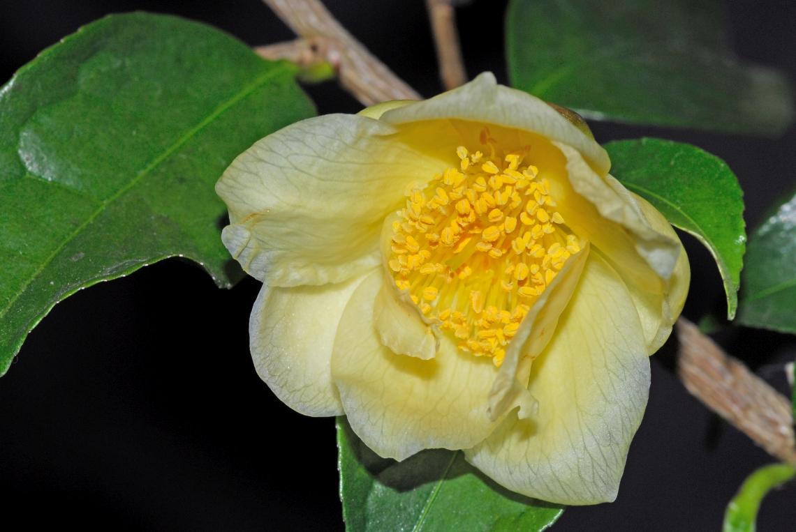Camellia pingguoensis