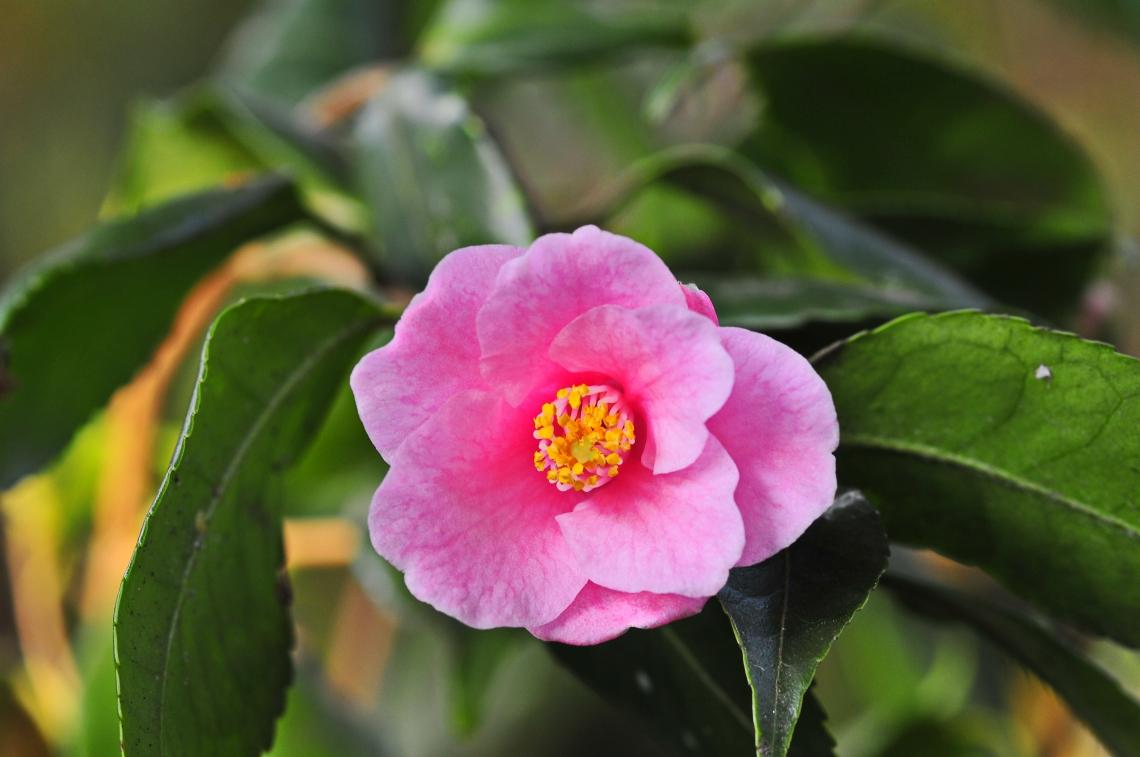Camellia rosaeflora