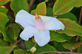 Camellia salicifolia