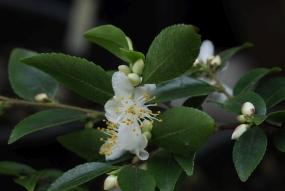 Camellia transarisanensis