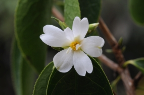 Camellia yusienensis