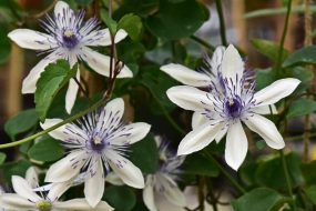 Clematis akoensis