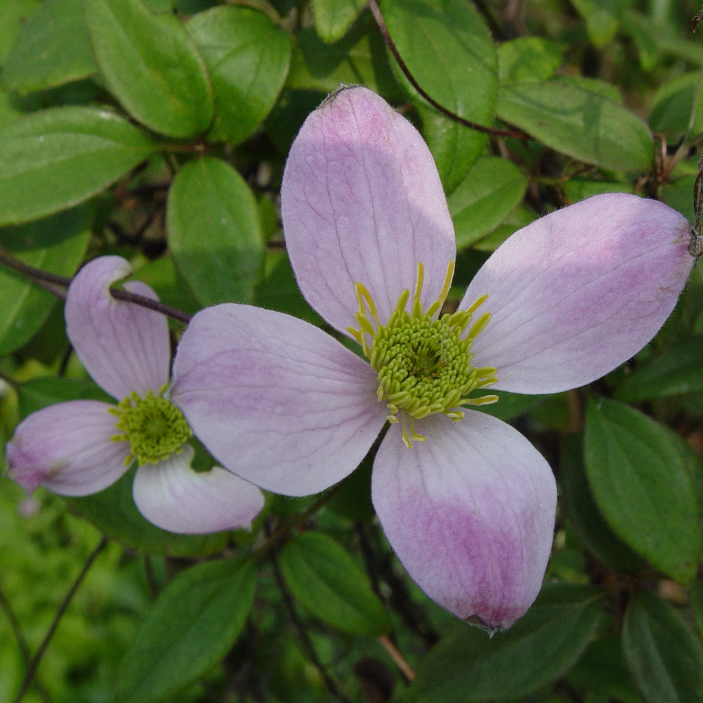 Clematis Jurry